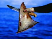 หูฉลาม