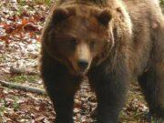 ประหาร หมีน้ำตาล